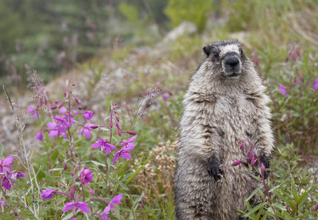 hoary: Hoary Marmot standing up in a field of fireweed in summer at White Pass near the Alaska Canadian border.