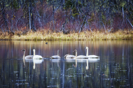 Mated pair of swans with older cygnets on a pond near Haines, Alaska in fall with trees reflected in water.