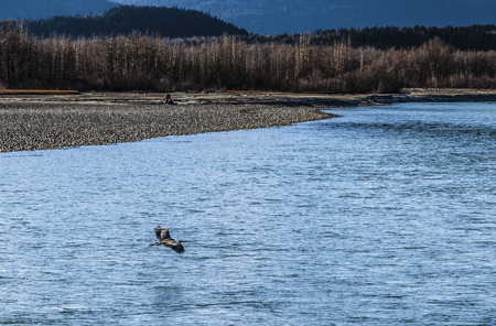 Chilkat river near Kluckwan in Southeast Alaska with a Great Blue Heron flying in autumn. Stock Photo