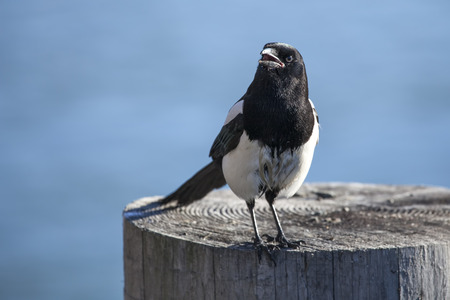 corvidae: Magpie on a piling by the Chilkat river in Alaska.