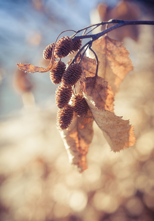 Alder cones with dead leaves in sunset light in autumn.
