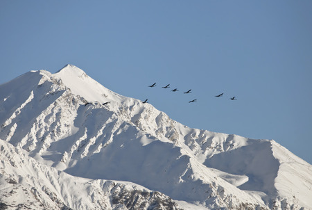 cygnus buccinator: Alaskan Trumpeter swans flying past a snow covered Alaskan mountain with blue sky.