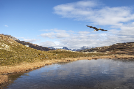 Bald eagle flying over a frozen lake in the Canadian mountains in early fall. Stock Photo