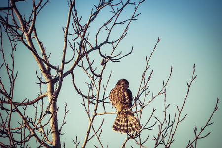 mago merlin: Merlin falcon with training jesses on a bare branch with blue sky.