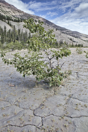 crack willow: Drying river flats of the Slims River near Kluane Lake in Yukon Canada in summer.