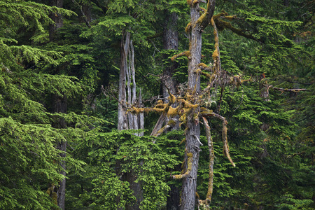 cicuta: Old growth forest in Southeast Alaska in summer.
