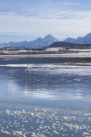 Pair of trumpeter swans in the Chilkat river in Southeast Alaska in winter.