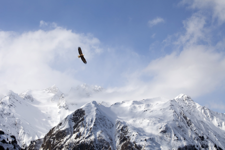 Bald eagle soaring over mountains in Southeast Alaska in winter.