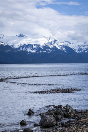 Trail of Surf Scoters duck in the Lynn Canal in Southeast Alaska in early spring.
