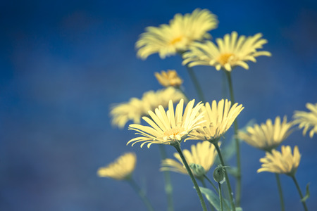 Yellow daisies against a blue background.
