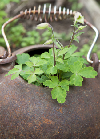 Columbine plant in an old teapot close up with a shallow depth of field Stock Photo