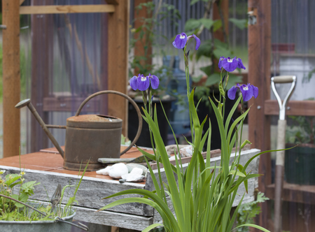 Outdoor home potting table with a watering can, blooming iris, and a greenhouse in the background.