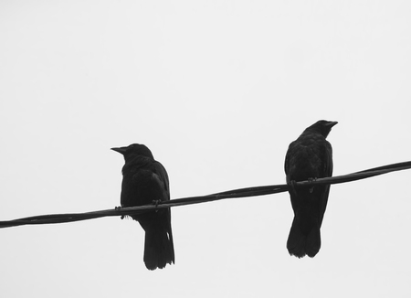 Two crows on a power line against a white background looking in separate directions