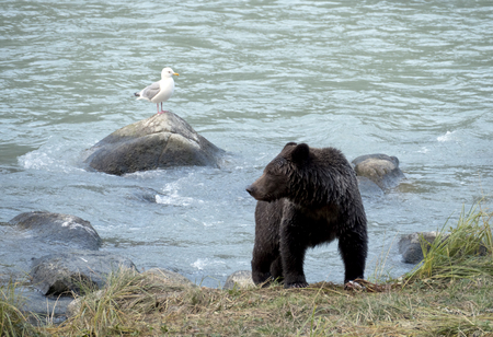 Young brown grizzly bear by the Chilkoot river near Haines Alaska during a salmon run with a dead salmon on the shore and a gull on a rock nearby.