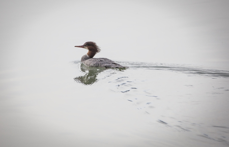 Single female Common Merganser swimming in calm water on a foggy day.