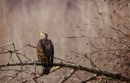 Juvenile bald eagle on a tree branch in fall in the Chilkat Bald Eagle Preserve near Haines, Alaska. Stock Photo