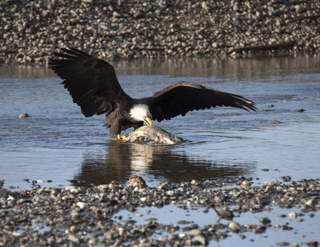 Bald Eagle eating a salmon on the Chilkat river hear Haines Alaska in fall. Stock Photo