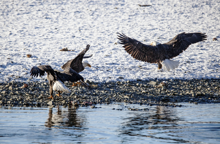 Three mature Bald Eagles on a beach of the Chilkat River near Haines Alaska after the first snow fighting over salmon. Stock Photo