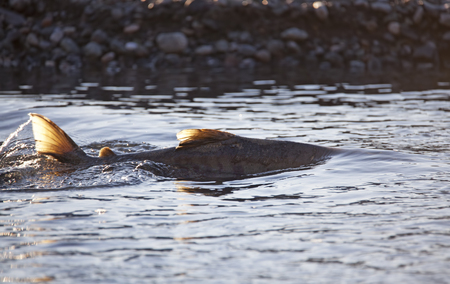 Close up shot of a spawning salmon in evening light backlit in the Chilkat river near Haines Alaska.