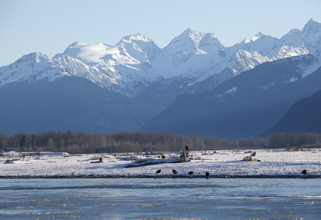 Many Bald Eagles on the shore of the Chilkat River in Southeast Alaska during the Silver Salmon run in early winter.