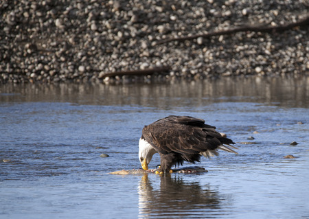 Bald Eagle eating salmon in the Chilkat River near Haines Alaska on a sunny fall day. Stock Photo