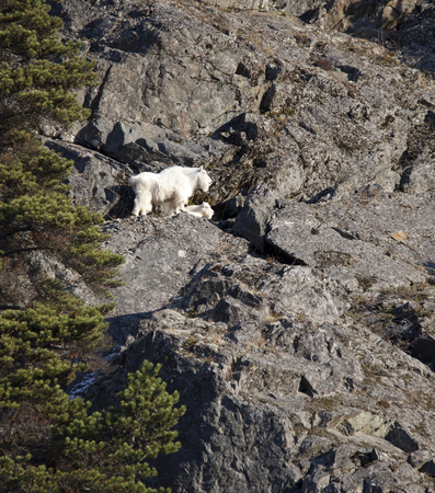 Mountain goat with small baby on a steep cliff in Southeast Alaska near Haines. Banco de Imagens