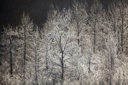 Birch trees in winter covered with frost along the Chilkat River in Southeast Alaska. Stock Photo