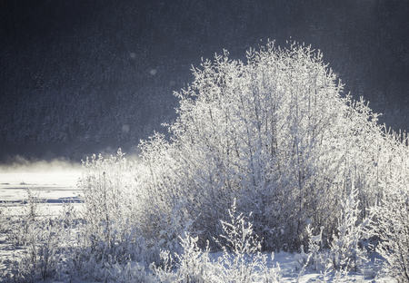 Frost covered willow bushes glowing in morning light on the Chilkat river near Haines Alaska in winter.