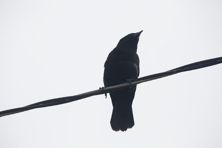 Crow sitting on a power line with a white background. Stock Photo