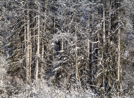 Trees covered with snow in an Alaskan forest.