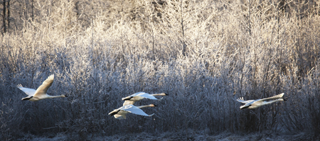Trumpeter swans flying past frosty vegetation in the Chilkat Bald Eagle Preserve along the Chilkat river near Haines Alask in winter.