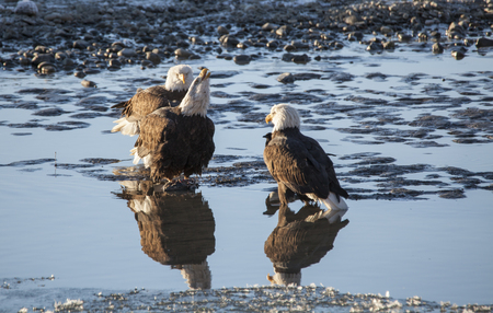 Group of three Bald Eagles hanging out by the Chilkat River near Haines Alaska in winter.