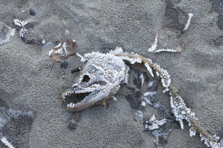 Dead salmon eaten by eagles or bear on a beach in Southeast Alaska covered with frost.