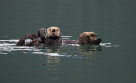 Mother and large baby sea otter in calm waters in Southeast Alaska.
