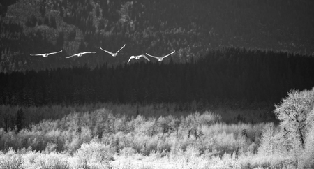 Five trumpeter swans in flight over the Chilkat Bald Eagle Preserve in Southeast Alaska in winter with frost on the trees in black and white.