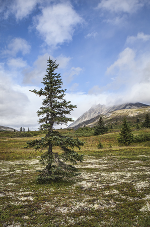 Spruce tree in high elevation tundra in the mountains of British Columbia Canada in summer. Stock Photo