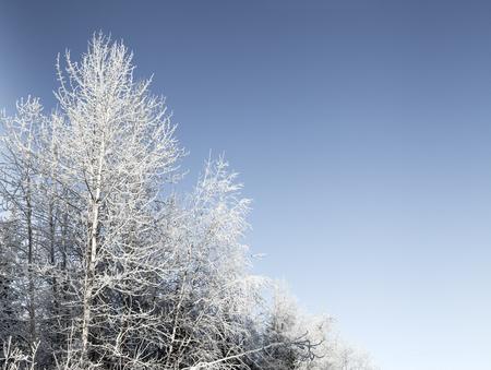 Frosty birch trees in Southeast Alaska with a blue winter sky.