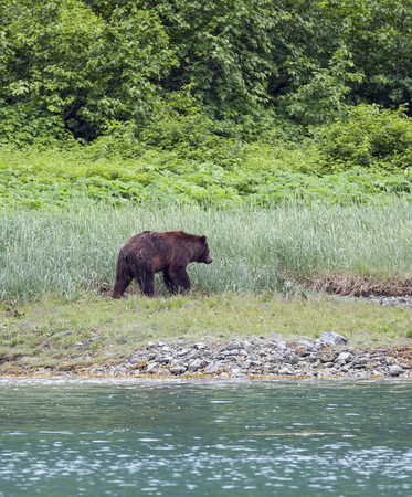 Brown bear on a beach in Southeast Alaska in summer looking for fresh greens to eat.