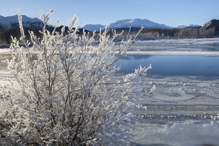 Hoar frost on a willow bush by the Chilkat River in winter on a sunny day.