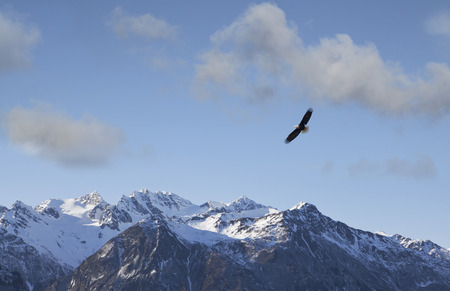 Bald eagle soaring over the Chilkat mountains near Haines, Alaska on a sunny day.