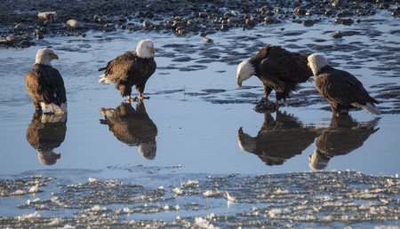 Four bald eagles hanging out in shallow water in the Chilkat Bald Eagle Preserve on a sunny winter day. Stock Photo