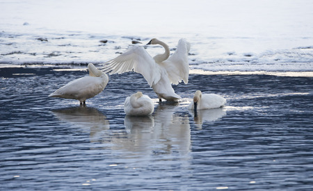 Group of swans on the Chilkat River in Southeast Alaska in winter.