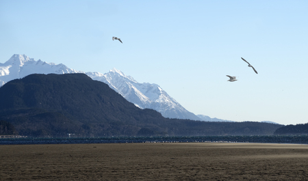 Seagull flying over an Alaskan beach near Haines with a flock of birds on the shore in the distance. Stock Photo