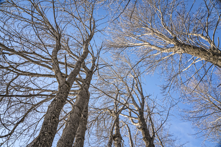 Looking up at tall cottonwood trees in winter with bright blue sky.