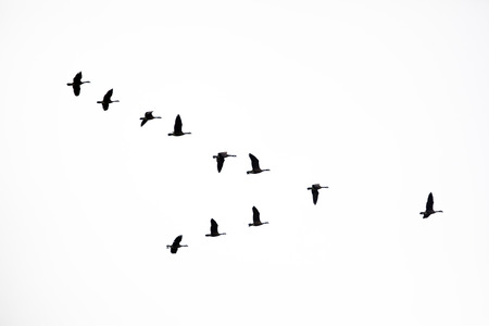 Flock of Canada Geese flying in a V formation on white. Stock Photo