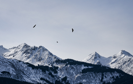 Three bald eagles flying over snow covered Chilkat mountains near Haines, Alaska in winter.
