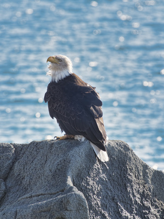 Bald Eagle sitting on a rock on a beach in Southeast Alaska.
