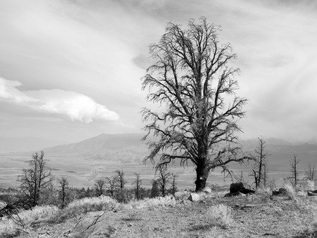 Burnt trees after a fire in the Eastern Sierras in black and white. Stock Photo