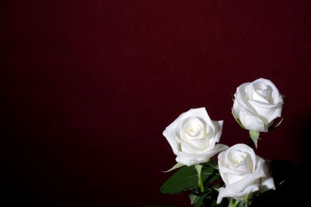 Three withe rosses on the purpul background