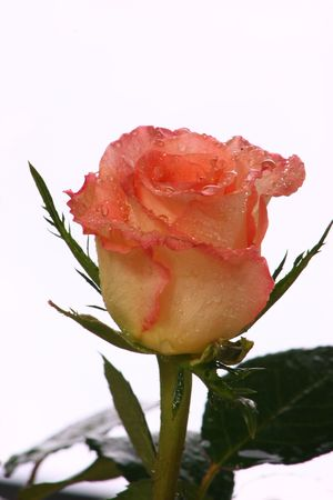 wather: fresh pink rose with wather sparks